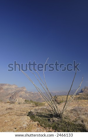 Ocotillo Cactus above Apache Trail; Arizona in Winter.