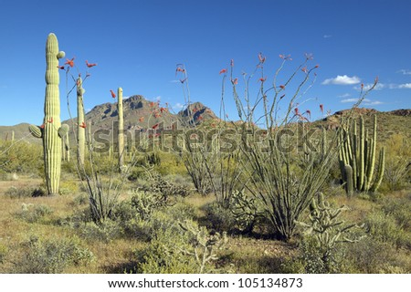 Ocotillo surrounding an Organ Pipe cactus in Organ Pipe Cactus National Monument, AZ near Mexico-USA border