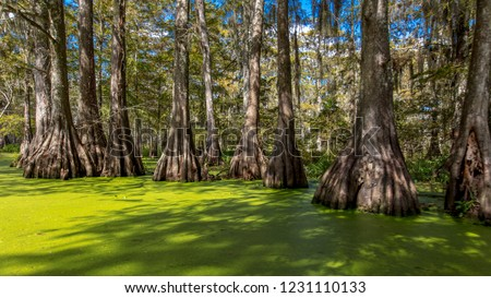 OCTOBER 14, 2018 - Lafayette, Louisiana, USA - Old Cypress trees in Cajun Swamp & Lake Martin, near Breaux Bridge and Lafayette Louisiana