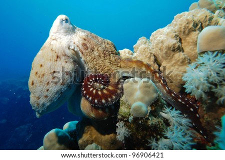 octopus - stock photo