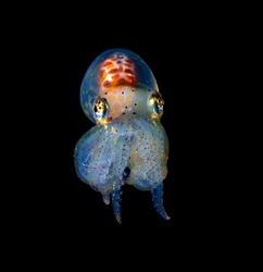 Octopus Blackwater Diving Underwater Photo