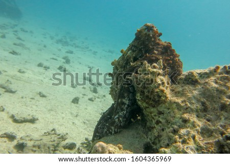 Octopus Cyanea climbs a coral at the bottom of the Red Sea. Reef Octopus underwater photo. Octopus mimics. Octopus vulgaris. Cyanea can change camouflage color, patterns and texture of its skin. Stock photo ©