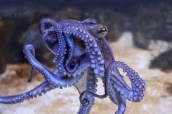 Octopus in an aquarium, closeup view