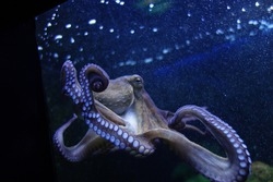 Octopus kraken at the windowpane of an aquarium. Suckers and tentacles are holding on the glass. Sea animal with light purple grey skin in deep dark blue water with air bubbles. Glass sucker.