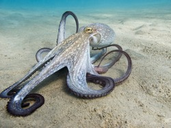 Octopus (Octopus vulgaris Cuvier, 1797) or octopus is a cephalopod of the Octopodidae family at sea