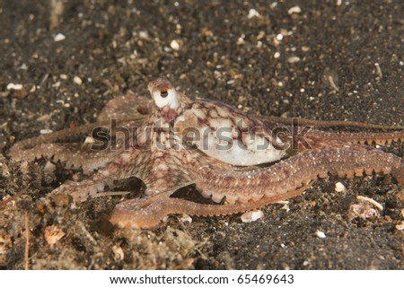 Octopus, unknown species (Possibly Octopus species 4 in Gosliner which is potentially a member of the Octopus aeginae species complex)