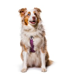 odd-eyed Expressive australian shepherd dog red merle wearing a red harness, isolated