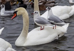 ODESSA, UKRAINE - February 2, 2017: White swans, wild ducks and gulls swimming in sea water in winter. Fighting seagulls beg for food from people. Birds wintering cold. People conservation of birds