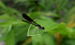 Odonata, Darning needle dragonfly image, stock foto and vector. Close-up photo.
