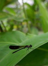Odonata, Darning's needle dragonfly or Enallagma cyathigerum on a green leaf. Damselfy portrait blur photos.