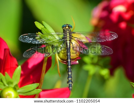 Odonata is an order of carnivorous insects, encompassing the dragonflies (Anisoptera) and the damselflies (Zygoptera). #1102205054