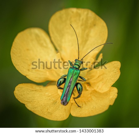 Oedemera nobilis, also known as the false oil beetle, thick-legged flower beetle or swollen-thighed beetle, is a beetle in the family Oedemeridae, a common species in Western Europe