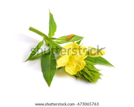 Oenothera. Common names include evening primrose, suncups, and sundrops. Isolated. #673065763
