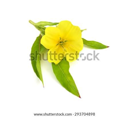 Oenothera flower isolated.