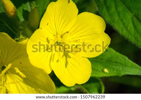 Oenothera may have originated in Mexico and Central America. Some Oenothera plants have edible parts. The roots of O. biennis are reported to be edible in young plants. #1507962239
