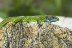 Oestliche Smaragdeidechse, Lacerta viridis, European green lizard