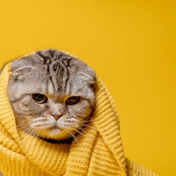 Offended Scottish Fold cat in a yellow scarf, looks sad, on a bright background. Copy space.