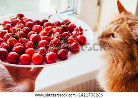Offering cherries to red cat side view. Hand holding white plate with sweet summer berries. Funny meal choice for domestic animal, pet. Vegetarian cat owner seducing kitty with delicious dessert #1421706266