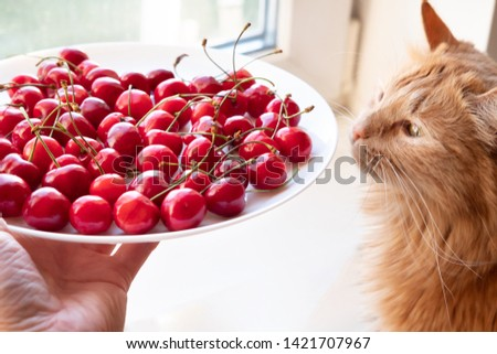 Offering cherries to red cat side view. Hand holding white plate with sweet summer berries. Funny meal choice for domestic animal, pet. Vegetarian cat owner seducing kitty with delicious dessert #1421707967