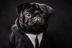 office businessman pug dog isolated on black background