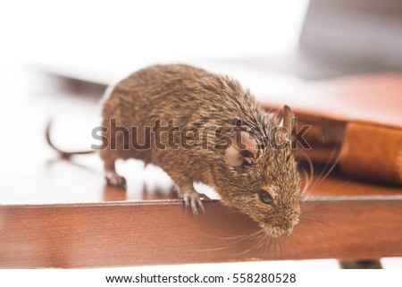 office rats, rodent on desk looking at floor - Shutterstock ID 558280528