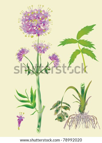 Officinal valerian- blossoming plant and root