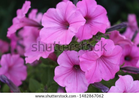 Often grown as annuals, Petunias are one of the most popular flowers. They are tender perennials in Zones