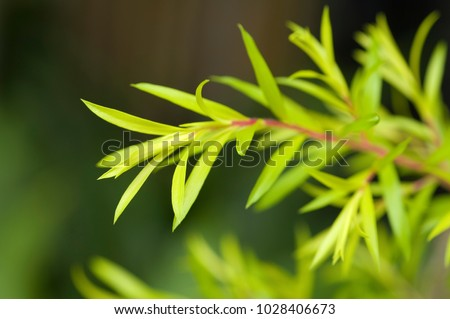 Often used to extract essential oils of Australian tea tree leaves. #1028406673