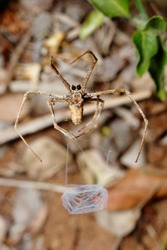 Ogre-faced spider or net casting spider of genus Deinopis. Spinning its web that is later used to capture passing insect. Photo taken in Ndumo Game Reserve, South Africa.