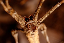 Ogre-faced spider or net casting spider of genus Deinopis. These nocturnal spiders have huge eyes allowing them to see during the night. Photo taken in Ndumo Game Reserve, South Africa.