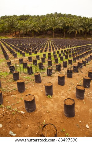 Oil Palm Farm in Indonesia, North Sumatra. Newly Planted Palm trees!
