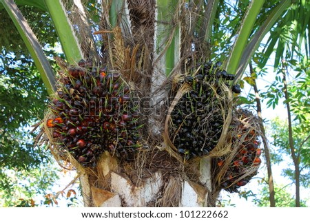 Oil palm for food and energy industry