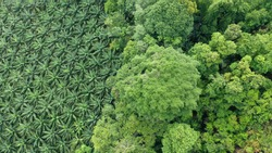 Oil palm trees plantation at the edge of tropical rainforest. Aerial photo from drone, showing the environmental damage caused by the palm oil industry to rain forest jungle