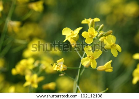Oil rape flowers in field in early spring