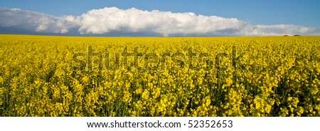 Oil seed rapeseed field in full yellow flower on a sunny day with a cloud bank