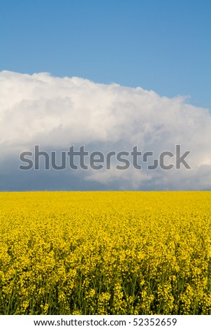 Oil seed rapeseed field in full yellow flower on a sunny day with cloud bank