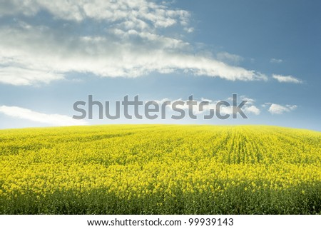 oilseed cultivated field blue sky landscape