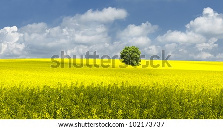 oilseed rape field with tree