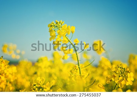 Oilseed Rapeseed Flowers in Cultivated Agricultural Field, Crop Protection Agrotech Concept, Close up with Selective focus and Narrow Depth of Field