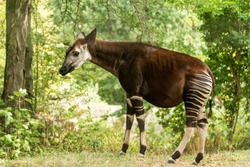 Okapi (Okapia johnstoni), forest giraffe, artiodactyl mammal native to jungle or tropical forest, Congo, Central Africa, beautiful animal with white stripes in green leaves, whole body