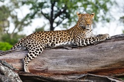 Okavango Delta Leopard