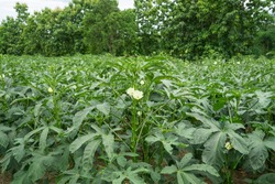 Okra plant growing in home garden in Asia, nature concept with sunset warm light, agriculture industry, Lady finger farming