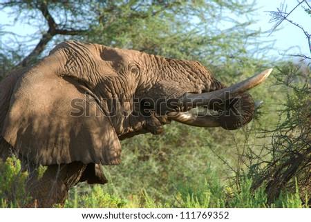Old african elephant eating, Samburu national park, Kenya