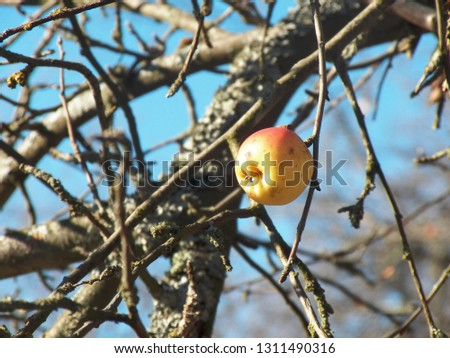 Old alone last apple on a branch without leaves. Autumn concept #1311490316