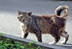 old and ragged stray cat walks along an asphalt road