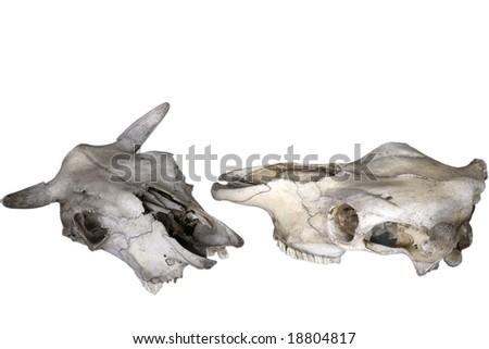 Old animal skull isolated