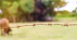 Old antiquity barbed wire, barbed wire, barbed wire, the need for freedom concept.