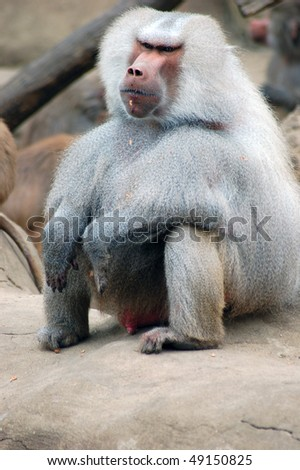 stock-photo-old-baboon-male-seating-papio-hamadryas-anubis-49150825.jpg