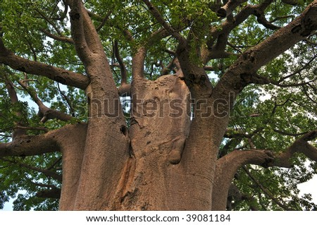 old Baobab tree in Botswana