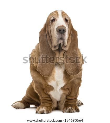 Old Basset Hound sitting, isolated on white #134690564